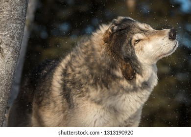 Grey Wolf (Canis lupus) Shakes Off Snow Winter - captive animal