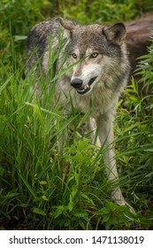 Grey Wolf (Canis lupus) Snarls in Grass Summer - captive animal