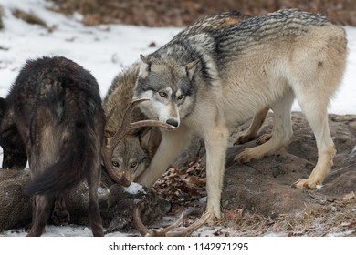 Grey Wolf (Canis lupus) Sniffs at White-Tail Deer Antler - captive animals