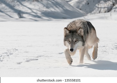 Grey Wolf (Canis lupus) Stalks Forward - captive animal