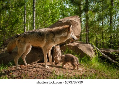 Grey Wolf (Canis lupus) Stands in Front of Den With Pups - captive animals