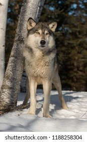 Grey Wolf (Canis lupus) Stands in Front of Trees - captive animal