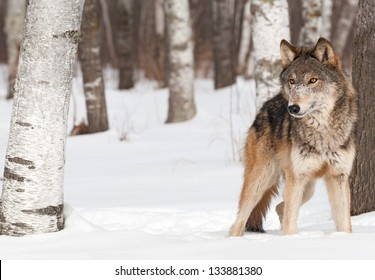 Grey Wolf (Canis lupus) Stands Between Trees - captive animal