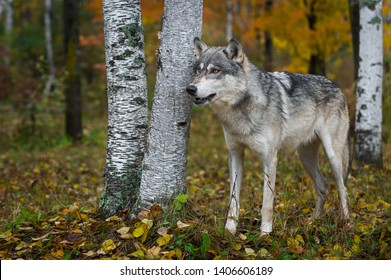 Grey Wolf (Canis lupus) Stands Near Birch Trees in Forest Autumn - captive animal