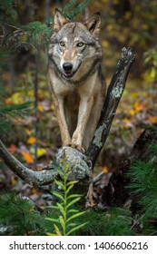 Grey Wolf (Canis lupus) Stands on Top of Roots Autumn - captive animal
