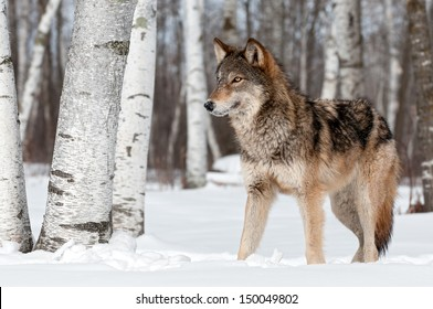 Grey Wolf (Canis lupus) Stands Towards Left - captive animal
