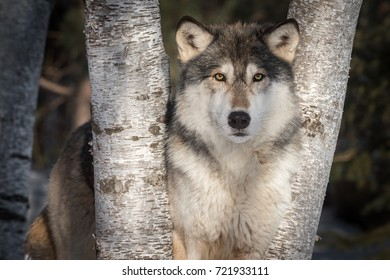 Grey Wolf (Canis lupus) Stares Out Between Trees - captive animal