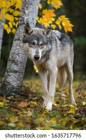 Grey Wolf (Canis lupus) Steps Past Birch Trees Autumn - captive animal