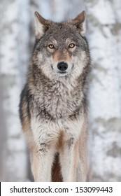 Grey Wolf (Canis lupus) Straight On - captive animal