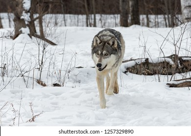 Grey Wolf (Canis lupus) Trots Forward - captive animal