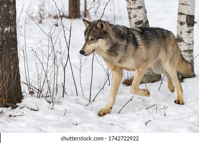 Grey Wolf (Canis lupus) Trots Left From Trees Winter - captive animal
