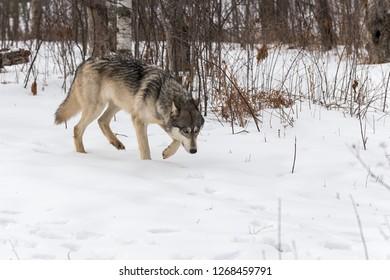 Grey Wolf (Canis lupus) Walks Right Head Down Winter - captive animal