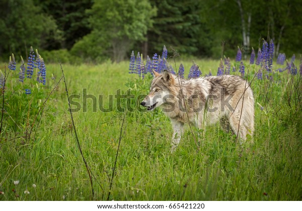 Grey Wolf (Canis lupus) Yearling Stands to Left - captive animal