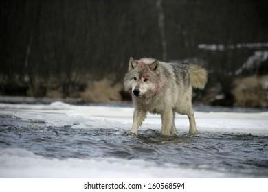 Grey wolf, Canis lupus,single mammal on snow,