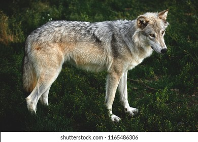 A Grey Wolf close up near Yellowstone National Park, Montana, USA.