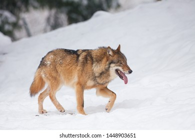 A grey Wolf in a cold white winter landscape with snow - Canis Lupus