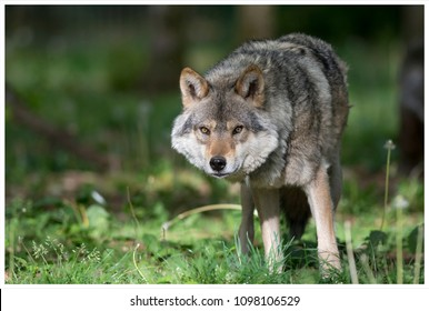grey wolf in the forest
