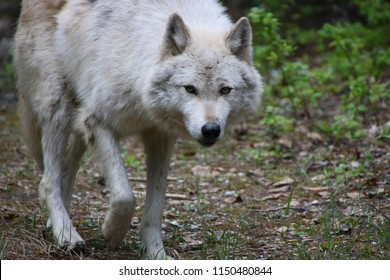 Grey Wolf. Golden, British Columbia, Canada
