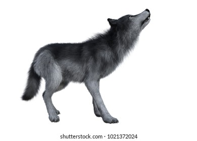 Grey wolf howling, 3D illustration isolated on white background.