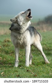 Grey Wolf howling against a misty background/Wolf/Grey Wolf