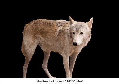 Grey wolf isolated on black