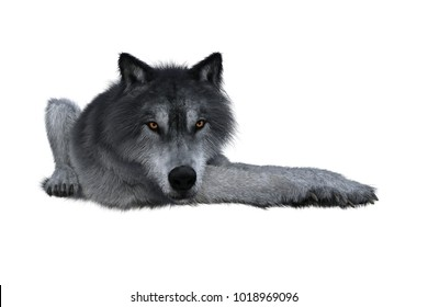 Grey wolf laying down, 3D illustration isolated on white background.