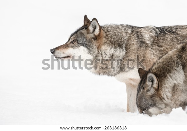 A Grey Wolf looking into the distance while a fellow pack member investigates a scent beneath the snow.