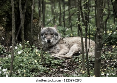 Grey wolf lying in the forest