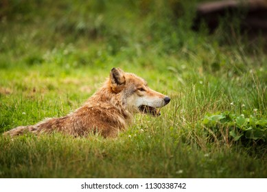 Grey wolf lying on grass