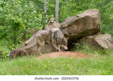 Grey wolf mother and pup at den