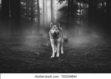 Grey Wolf Portrait - captive animal Magical forest dawn