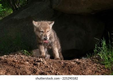 Wolf Pups Images, Stock Photos & Vectors | Shutterstock