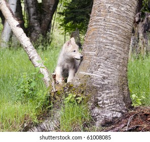 Grey wolf pup (canis lupus) stands in the crook of an aspen tree in the forest.