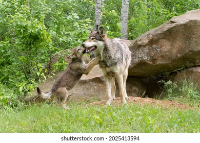 Grey wolf pup licking mom's face