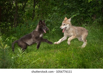 Grey Wolf Pups (Canis lupus) Bounce - captive animals