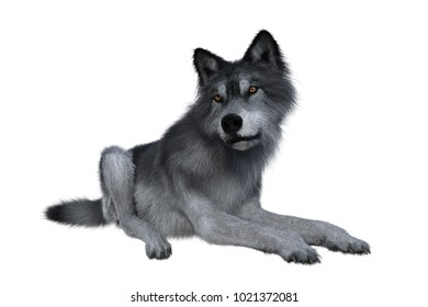 Grey wolf relaxing, 3D illustration isolated on white background.
