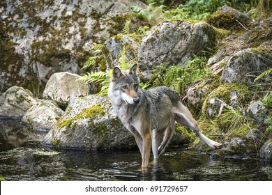 Grey wolf in a river with rocks in the background looking hungry and slim
