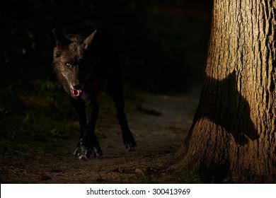 灰色のオオカミとその影 (キャニス・ループス)