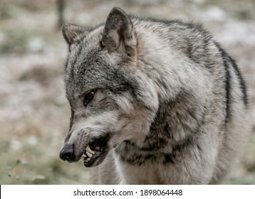 Grey wolf snarling at pack