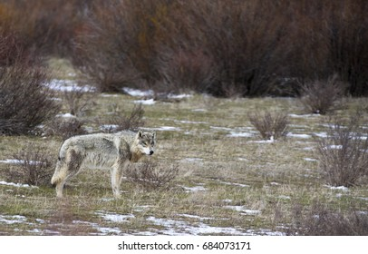 Grey wolf standing in grass with sagebrush