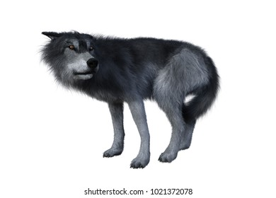 Grey wolf standing and looking back, 3D illustration isolated on white background.