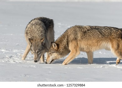 Grey Wolves (Canis lupus) Come Together Heads Down Winter - captive animals