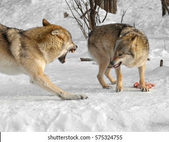 Grey wolves (Canis lupus). Fight for food