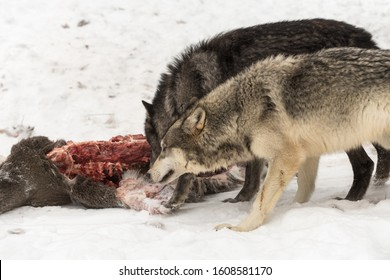 Grey Wolves (Canis lupus) Gnaw on White-Tail Deer Carcass Winter - captive animals