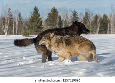 Grey Wolves (Canis lupus) Jump Around in Field Winter