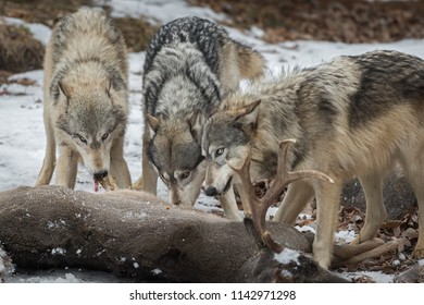 Grey Wolves (Canis lupus) Pull Meat From White-Tail Deer - captive animals