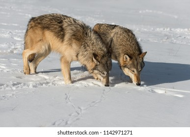Grey Wolves (Canis lupus) Sniff Together - captive animals