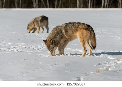 Grey Wolves (Canis lupus) Sniff Ground in Field Winter