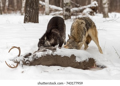 Grey Wolves (Canis lupus) Tear Into White-Tail Deer Carcass - captive animals