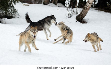 Grey wolves in snow